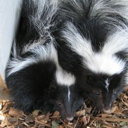 We smell a coupleof skunks, don't you? The Editor